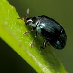 Imported Willow Leaf Beetle thumbnail
