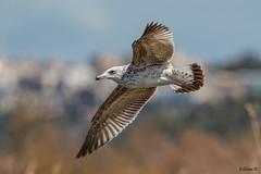 Armenian gull (Dave 5533) Tags: armeniangull bird bif wild animal larusarmenicus outdoor naturephotography wildlifeinisrael birdsinisrael nature canoneos1dx canonef300mmf28 birdsinflight gull animalplanet sunrays5 coth