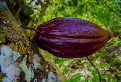 Cocoa Bean Pods on Plantation near Rio Anamuyita - Higuey Dominican Republic (mbell1975) Tags: laaltagracia dominicanrepublic do cocoa bean pods plantation near rio anamuyita higuey dominican republic dr island caribbean farm tree trees chocolate