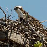 osprey nesting thumbnail