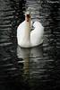 Schwan / Swan (R.O. - Fotografie) Tags: schwan swan wasser water nahaufnahme closeup close up paderbron fischteiche rofotografie bird vogel waterbird wasservogel white weis animal tier action panasonic lumix dmcfz1000 dmc fz1000 fz 1000 outdoor 2018