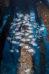Schooling Trevally underneath the Salt Pier, Bonaire (NickPolanszkyPhotography) Tags: underwater nick polanszky photography aquatica canon 5diii salt pier bonaire caribbean ocean scuba diving