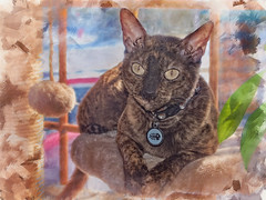 Cat on a Perch (jta1950) Tags: cat chat cornishrex animal texture painterly zs100