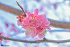 Ume (Plum) (hitsukiphotography) Tags: flower flowerphotography spring springseason plumblossom