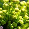 DSC06657a (Marcel Berbers) Tags: macro knoppen voorjaar kleuren lentevoorjaar
