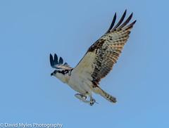 Osprey with Breakfast (mylesfox) Tags: osprey meal breakfast sea ocean bird prey