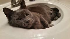 What? (ashman 88) Tags: waylon cat feline gato tabby felissilvestriscatus housecat