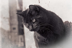 vintage effect (Pepenera) Tags: cat cats gatto gato gatti
