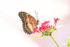 Cethosia (fabriciodo2) Tags: cethosia papillon macro mariposa butterfly couleurs fleurs rouge insect nature