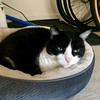 Oliver in his Bed (Mr.TinDC) Tags: cat cats pets oliver felines kitty kitties tuxedocats bed cute sleepy