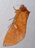 Notodontid Moth (Hapigia rufescens) (berniedup) Tags: kaw roura guyane moth notodontidae hapigiarufescens taxonomy:binomial=hapigiarufescens