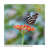 Zebrafalter (Heliconius charithonia) (H. Roebke) Tags: 2018 fauna canon5dmkiv color farbe butterfly nature wasser hannover canon100mmf28makrolisii insekt insect lightroom natur berggarten