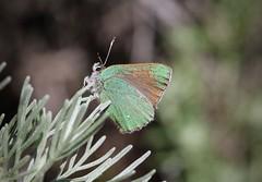 Bramble Hairstreak (Callophrys dumetorum), Pt. Lobos State Reserve, CA (Kent Van Vuren) Tags: bramble hairstreak pt lobos callophrys dumetorum