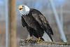 _D6X1645 (pxr57) Tags: sainteannedebellevue québec canada ca bald eagle nikon d600 eco zoo ecozoo
