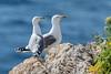 Ein Pärchen Mittelmeermöwen (Yellow-legged Gull) (oliver_hb) Tags: santelm sadragonera meer mallorca mittelmeermöwe möwe vogel