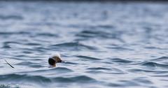 Alli-2706 (Markku Teiramaa) Tags: arntzenarcticadventures norge norja norway vadsø floatinghide kelluvakoju talvi vesilintu waterfowl