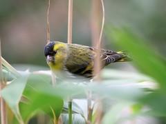Bird in my Garden (norbert.wegner) Tags: bird yellow nature panasonic gh5 leica100400 erlenzeisig siskin male