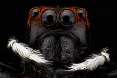 Black (thengoctran19) Tags: macro stackingfocus spider nikonplan canon canon700d insect ngocdk