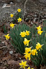 Unexpected pop of yellow (clarue79) Tags: change color undergrowth nature unexpected fragile daffodils seasonal beautyinnature bright forest persistence trees ephemeral leaves growth springtime happy