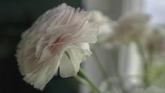 A view (Renate Bomm) Tags: renatebomm sonyilce6000 roomwithaview ranunculaceae 7dwf blume flora inside macroorcloseup ranunkel rosa smileonsaturday windows sigma16mmf14dcdn flowers