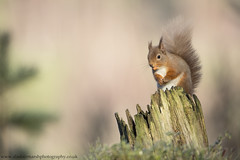 Red Squirrel (Alastair Marsh Photography) Tags: redsquirrel redsquirrels squirrel squirrels mammal mammals mammalsociety animal animals animalsintheirlandscape wildlife britishwildlife britishanimals britishanimal britishmammals britishmammal sunlight sun sunrise sunshine cairngorms cairngormsnationalpark scotland scottishwildlife scottishmammals scottishmammal scottishhighlands highlands winter