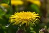 20180406_008_2 (まさちゃん) Tags: タンポポ 雄しべ 雌しべ 雄蕊 雌蕊 光 黄色 yellow