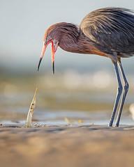 """""""Ten-Hut!!!!!"""" (DTT67) Tags: reddishegret needlefish fishing hunting 2xtc 500mm 5dmkiv canon florida wildlife nature wadingbird wader bird egret"""