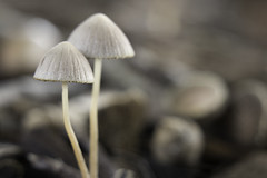 White mushrooms [explored] (Anne_nz) Tags: mushroom fungi autumn