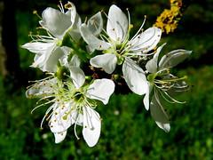 IMG_0032x (gzammarchi) Tags: italia paesaggio natura pianura camminata itinerario ravenna santalberto fiore prugno colore bianco