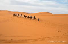 "Sahara   TrinDiego (TrinDiego) Tags: morocco 2018 trindiego sahara berber camp desert camel sand almamlakahalmaghribiyah ""western kingdomالمَغرِبⵍⵎⵖⵔⵉⴱ مرزوقة الصحراء merzouga صحراء northafrica africa المملكةالمغربية kingdomofmorocco ⵜⴰⴳⵍⴷⵉⵜⵏⵍⵎⵖⵔⵉⴱ almaġrib"