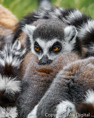 Mrs Digital Banham Zoo _MG_6372 PF.jpg (Mr and Mrs Digital) Tags: 2017 banham wild norfolk animal ring tailed lemurs coth5