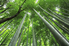 Sagano Bamboo Forest (cattan2011) Tags: 京都 bamboo forest woodlands traveltuesday travelphotography travelbloggers travel naturelovers natureperfection naturephotography nature landscapephotography landscape 日本 naganobambooforest kyoto japan