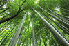 Sagano Bamboo Forest (cattan2011) Tags: bamboo forest woodlands traveltuesday travelphotography travelbloggers travel naturelovers natureperfection naturephotography nature landscapephotography landscape 京东 日本 naganobambooforest kyoto japan