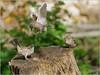LR7-PGH55379 (JB89100) Tags: 2018 6kphotomode effetsspeciaux moineau oiseaux quoi