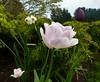 The garden: colour and texture (ronmcbride66) Tags: thegarden garden tulip rose narcissus juniper acer foliage texture gardentexture border plants coth5
