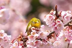 A mejiro (Japanese white-eye) on a sakura tree in Tokyo, Japan (Matryokeshi) Tags: japan tokyo sakura cherryblossoms flowerlover bird mejiro spring2018 さくら メジロ 桜 東京 日本 япония токио сакура мэдзиро весна милость люблюцветы