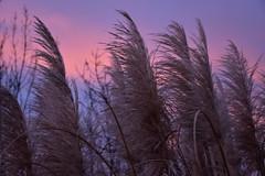 DSC_7753 (griecocathy) Tags: lever couleur plante branches rosée bleutée