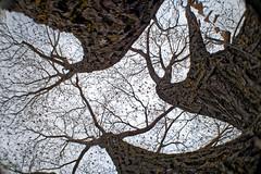 Fibre Network (Kurayba) Tags: edmonton alberta canada fisheye takumar 18mm f11 pancake lens pentax k1 m42 panfocus tree fibre network trunk branches sky leaves spring wifi trigger branch