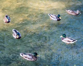 Ducks on the Glatt River, Dübendorf, Canton of Zurich, Switzerland