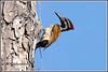7771 - flameback woodpecker (chandrasekaran a 47 lakhs views Thanks to all) Tags: birds nature india chennai canoneos6dmarkii tamronsp150600mmg2 flamebackwoodpecker