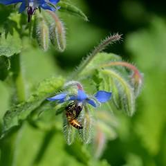 Blue Borage and busy golden bee (jungle mama) Tags: borage bee blue fuzzy vegetable green garden boragninaceae pinkstem blueflower starflower boragoofficinalis