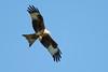 Red Kite 7 (Hugobian) Tags: red kites kite bird birds nature wildlife fauna flight flying raptor pentax k1 stilton