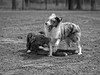 Bruno and Scout (piano62) Tags: dogs dogrescue play rough dirty fun hilarious mansbestfriend dogsbestfriend inthepark silly expressions blackandwhite monochrome sonya7rii sony85mmf18