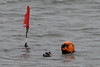 Flag, Grebe, Bouy. (stonefaction) Tags: black necked grebe birds nature wildlife scotland elie fife forth river firth
