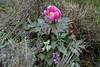 Linas: peonia (babajuanne) Tags: peonia flower flowers fioritura fiori