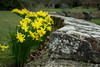 20180322-06_Coombe Abbey Country Park -  - Daffodils (gary.hadden) Tags: coombeabbey coombepark coventry warwickshire countrypark rambling countrywalking daffs doffodils yellow wall gardens border flowers spring