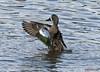 040818111245asmweb (ecwillet) Tags: bluewingteal teal duck wildwoodparkharrisburgpa nikon nikond500 ecwillet ericwillet