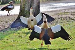 Geese (Hugo von Schreck) Tags: hugovonschreck geese gänse bird vogel nilgans alopochenaegyptiaca canoneos5dsr tamron28300mmf3563divcpzda010