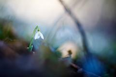 A Light That Still Shines On (matt.kueh) Tags: flower plant snowdrop schneeglöckchen galanthus spring frühling bokeh bokehlicious vintagelens manualfocus m42 depthoffield helios40285mmf15