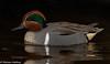 Green-winged Teal (Anas crecca carolinensis) - Burnaby, BC (bcbirdergirl) Tags: greenwingedteal male stud breeding cute tiny duck dabbler dabblingduck piperspit burnabylake anascreccacarolinensis sarcelledhiver burnaby bc drake adult